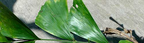 fish_tail_palm